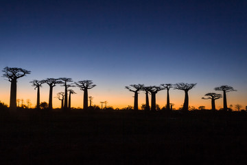 Sunset on baobab trees