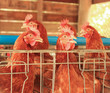 Livestock of Red chicken