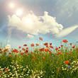Wildblumen im Frühling: Klatschmohn, Margeriten und Kornblumen