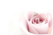 close up of purple rose and ring for wedding image