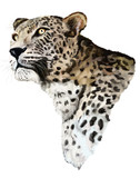 Jaguar on a white background