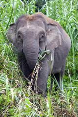 Pygmy elephant on the Kinabatangan River, Sabah.