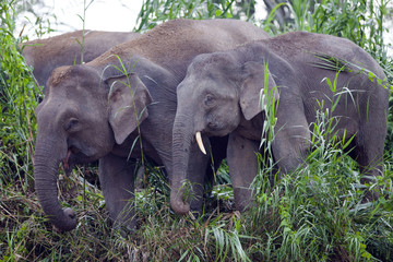 Pygmy elephants on the Kinabatangan River, Sabah.