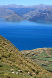 herd of sheep grazing above lake Hawea