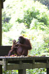 Mother and baby Orangutan eating fruit, Borneo.