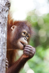 Orangutan in a tree, Borneo.