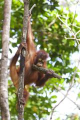 Orangutan holding a tree branch, Borneo.