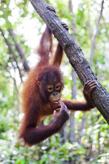 Orangutan hanging from a tree, Borneo.