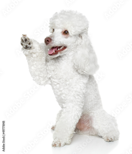 Toy Poodle gives that a paw