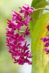Purple orchid, Rhynchostylis gigantea