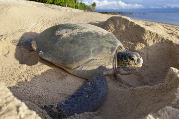 Green turtle laying eggs on the beach.