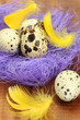 Quail eggs in a nest with feathers for Easter holidays