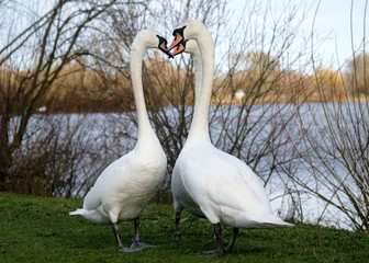 Swans in Love courtship