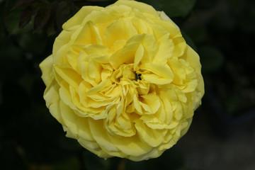 rosa gialla profumata