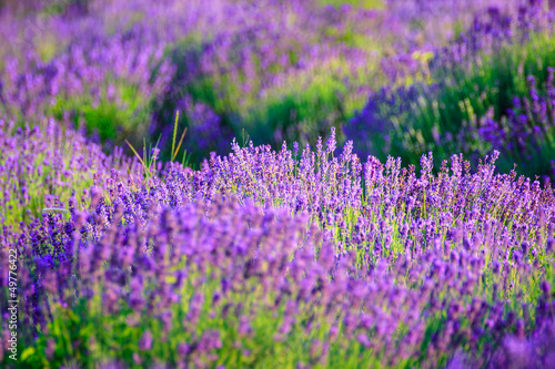 Lavender field in the summer - 49776422