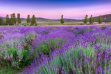 Sunset over a summer lavender field in Tihany, Hungary - 49777064