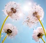 Wünsche erfüllen: Pusteblumen im Sonnenlicht - 49779045