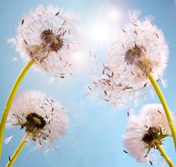 Wünsche erfüllen: Pusteblumen im Sonnenlicht © doris oberfrank-list