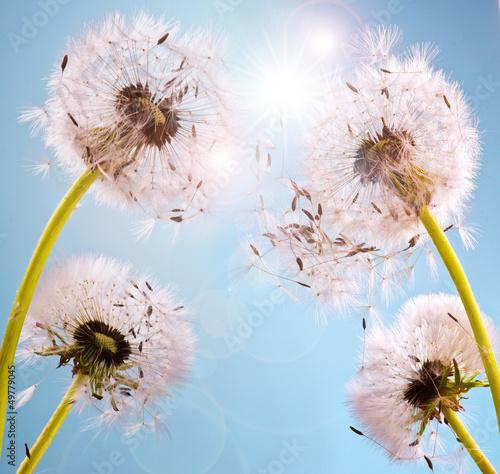 Marzenia: Dandelion w słońcu