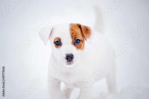 puppy Jack russel terrier portrait in winter