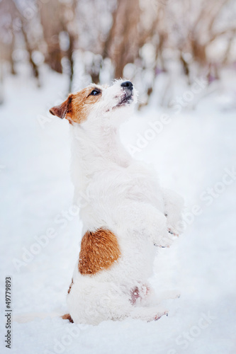 dog Jack russel terrier make trick in winter