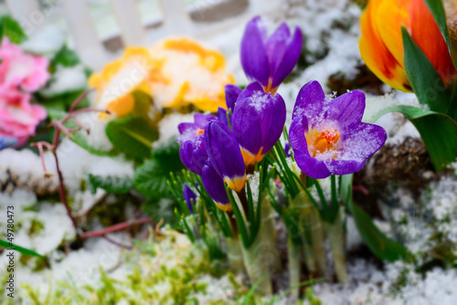 Foto op Canvas Krokussen Crocus im Winter