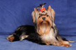 Yorkshire Terrier on blue background