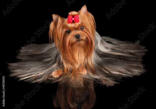 Beautiful Yorkshire Terrier on black
