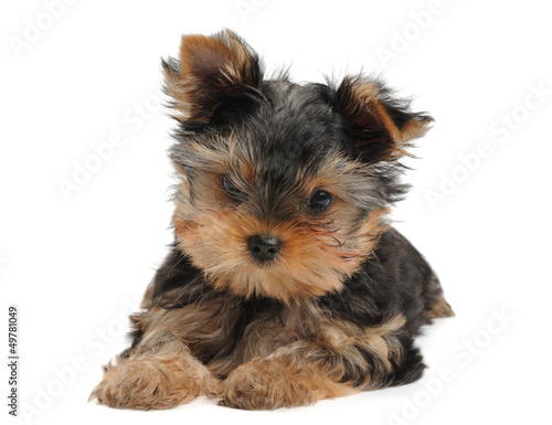 Small puppy of the Yorkshire Terrier