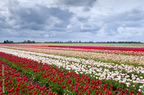 tulip fields in Dutch farm
