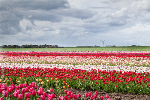 tulip fields in spring