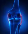 Knee ligaments anatomy