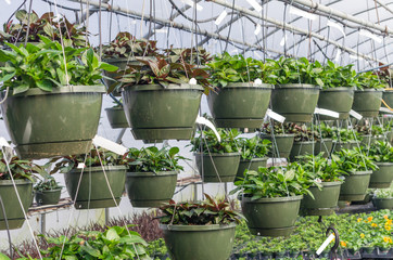 Hanging baskets growing in a greenhouse