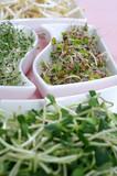 Fresh sprouts: radish, alfalfa, sunflower and soybean
