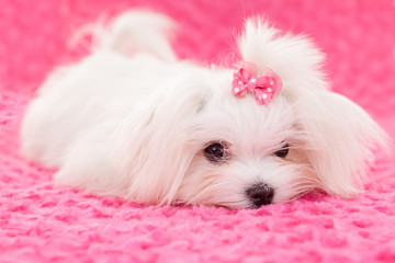 pedigree maltese dog