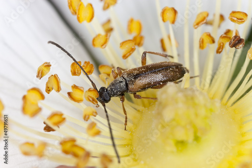 Small longhorn beetle, Alosterna tabacicolor