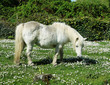 Cute White Pony in a meadow full of daisies