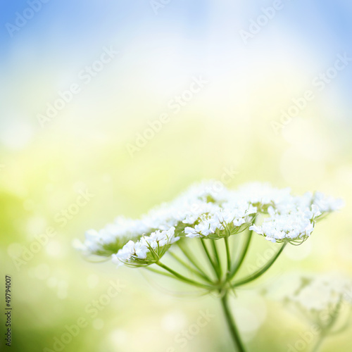 White wild carrot flower on spring background