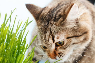 cat eating the grass