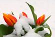 Fototapeten,tulpe,tulpe,frühling,winter