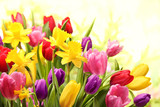 Fototapety Colorful tulips and daffodils