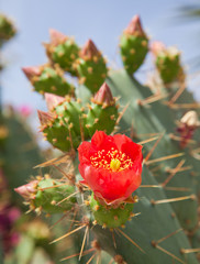 red opuntia
