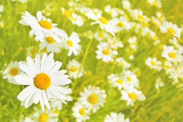Beautiful meadow with white daisies