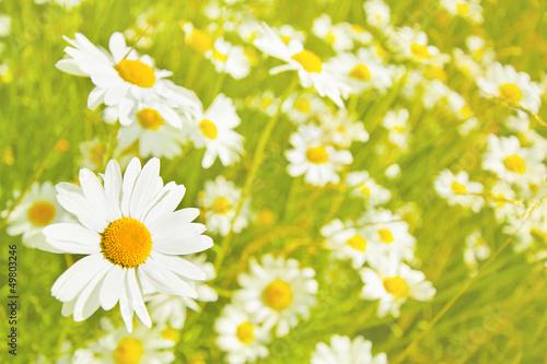 Fototapeten,natur,sommer,pflanze,gänseblümchen