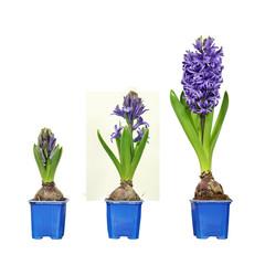 croissance de  jacinthes bleues