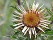 Gold-Distel (Carlina vulgaris)