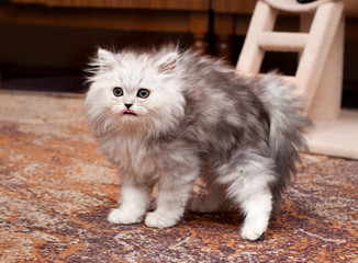young scary kitten