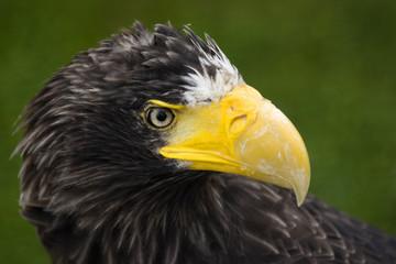 Steller's Sea Eagle's portrait