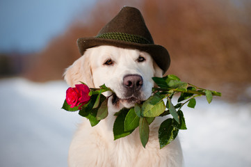 golden retriever dog in a hat holding a rose