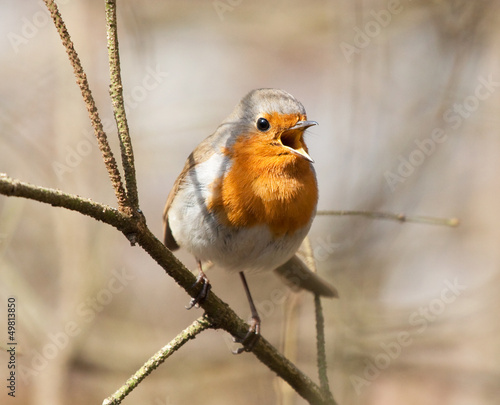 Singing Robin